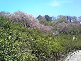 西山公園の桜2